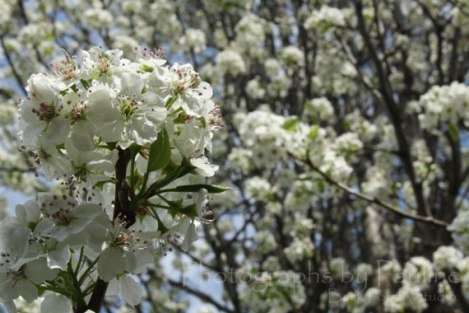 Beautiful white blooms from the Bradford Pear...