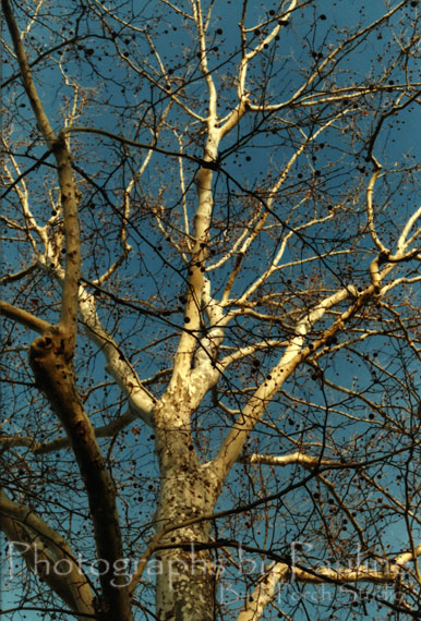The photograph below won third prize in a photo contest (way back in the late 80's!).  The picture was taken with my trusty Canon AE-1: clear blue sky as the background with the late afternoon sun highlighting the many different textures and colors of the bare sycamore tree.  This scanned version of a print does not do the original justice but you get the idea.