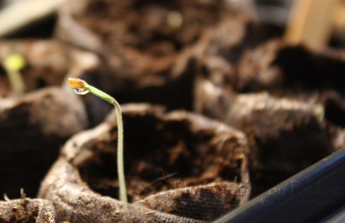 Tomato seedlings sprouting