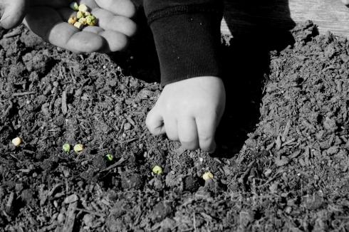 Planting peas.