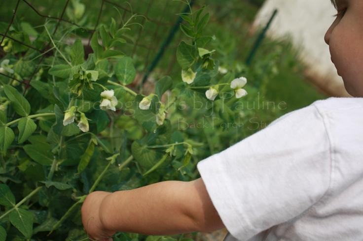 Picking peas.