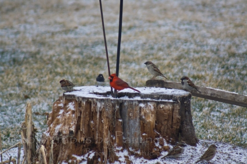 Cardinal, House Sparrow and a Dark-eyed Junco