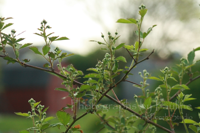 Our black berry bushes are full of buds this year!