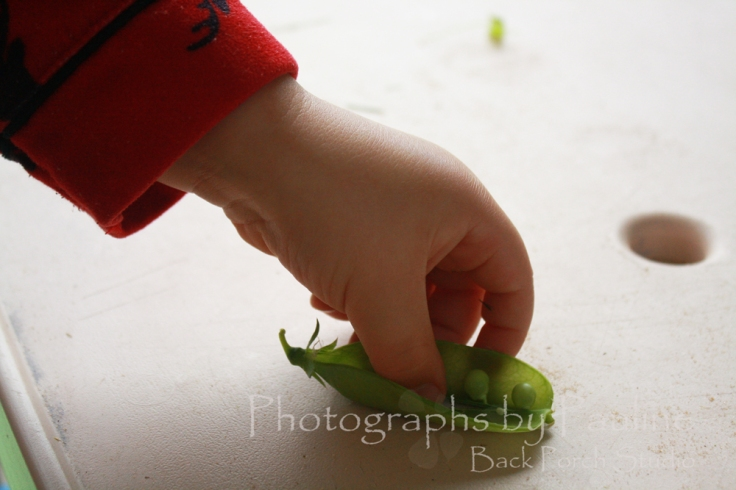 Picking and shelling peas are a great fine motor skill. Not to mention a healthy snack too!