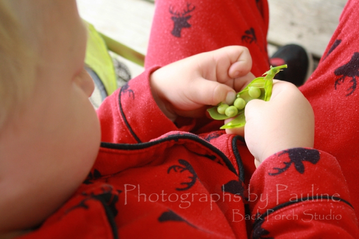 Finally, the day has come where fist fulls of peas are picked several times a day.