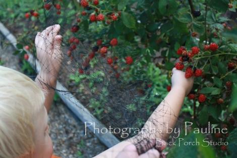 We are having a terrific blackberry season!
