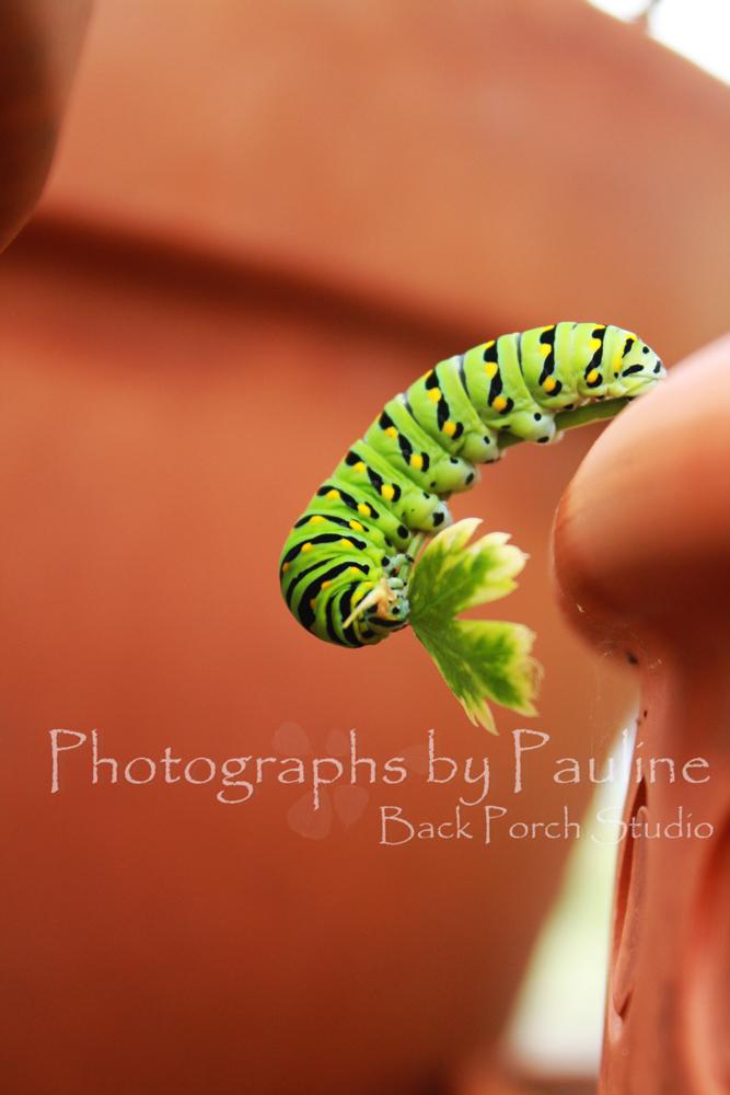 Eating the final leaf!