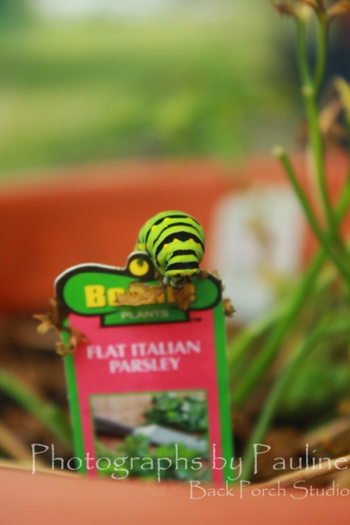 The very hungry caterpillar is not hungry any more. The very hungry caterpillar has gone on to build a cocoon somewhere.