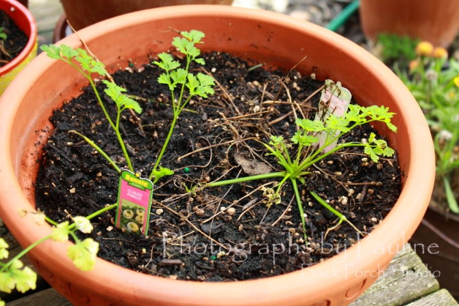 My parsley is trying to make a comeback.