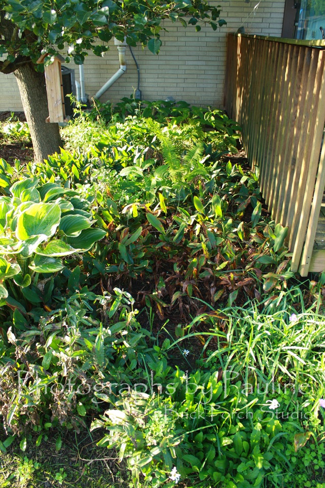 The before picture: most of the green in the background is Lily of the Valley overtaking several hostas and ostrich ferns. The Lilly of the Valley also encroached into the plants in the foreground: a ginormous hosta, daisies, spider wart, and bleeding hearts.