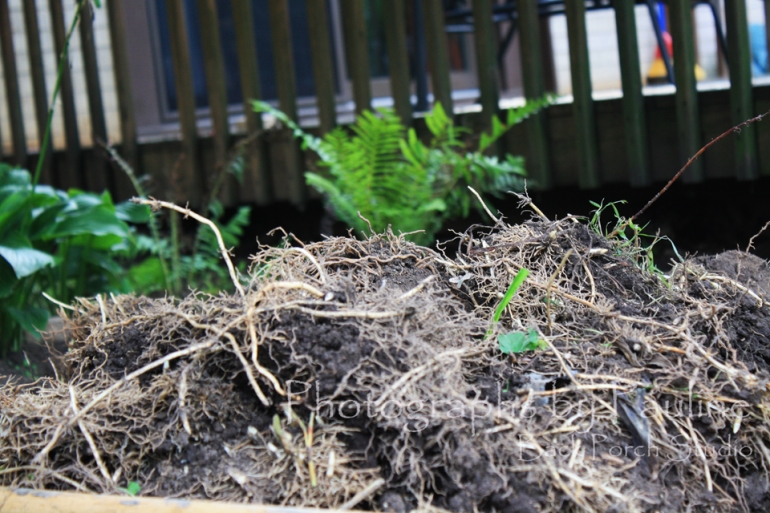 The start of a heap of thick intertwined root masses of Lily of the Valley.