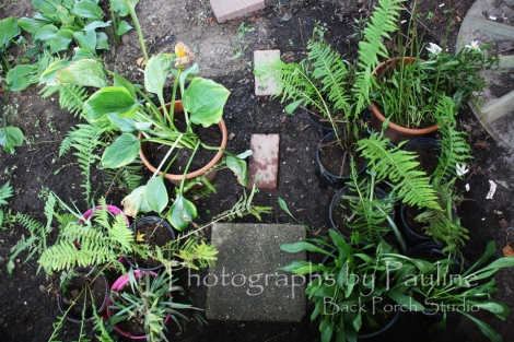 I was able to salvage some of my perennials. Now, they wait in their pots until I rid the garden soil of all the Lily of the Valley rhizomes.
