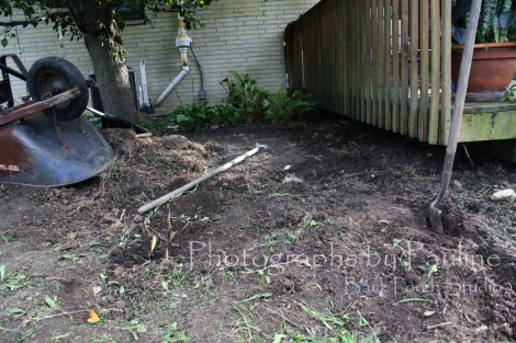 With the perennials removed, raking up all the rhizomes will be next followed by a chemical treatment and mulch.